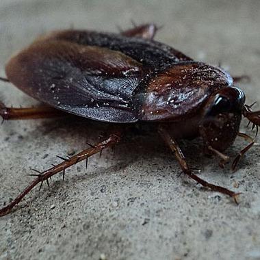 ゴキブリ駆除作業 ゴキブリ1