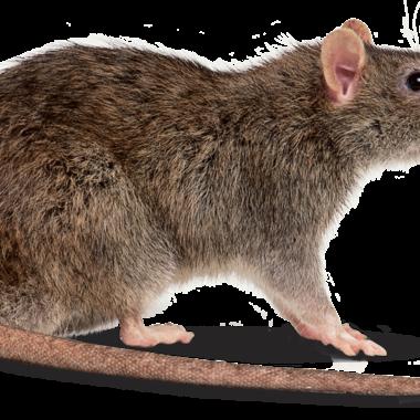 ねずみ駆除作業 ネズミ1