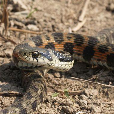 ヘビ駆除作業 蛇1