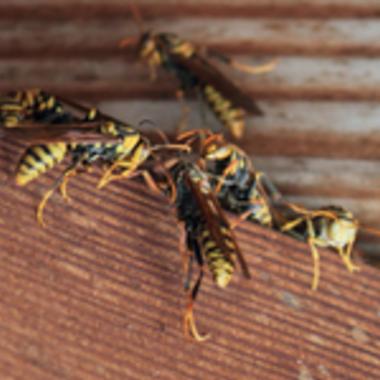 アシナガバチ ハチの巣撤去