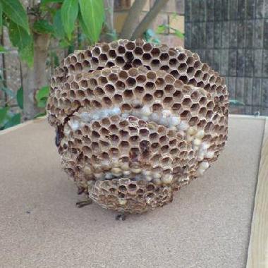害虫 駆除 | スズメバチ駆除後1