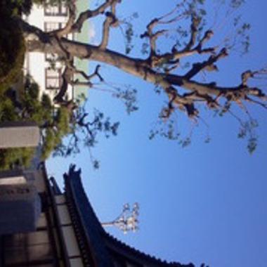 お寺 巨木の枝打ち後