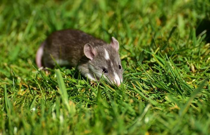 ネズミ 駆除 | 駆除業者に依頼する、ねずみ予防・駆除の方法